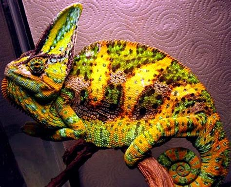 veiled chameleon colors chameleons master of disguise with unique animal