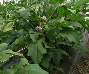 coltivazione melanzane in vaso coltivare melanzane biologiche difendendole dai parassiti