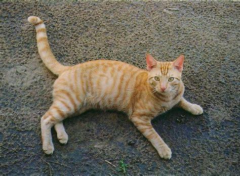 tabby cat wikipedia file orange tabby full body jpg