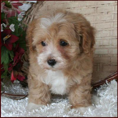 puppies for sale in iowa maltipoo maltepoo maltese poodle puppies for sale iowa breeds picture