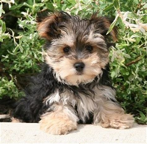wanted yorkie puppy wanted terrier cross maltese puppy