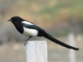 black billed magpie identification all about birds
