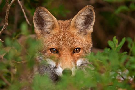 allevare animali da cortile galline in pericolo per volpi e faine ecco qualche rimedio