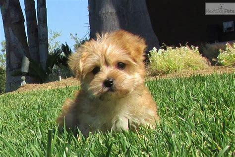 morkie puppies for sale in iowa morkie breeds picture