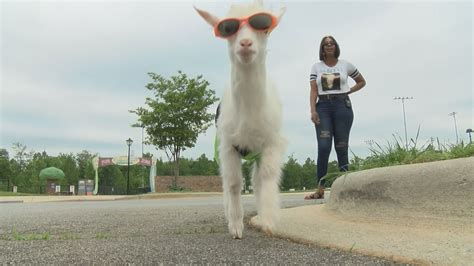 stylish gaston county goat  social media sensation