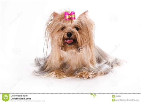 a white yorkie terrier yorkie puppy on a white backgr stock images image 4040064