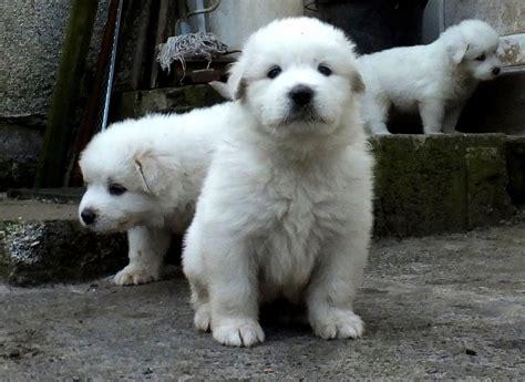 pyrenean mountain pyrenean mountain puppies ready now kidwelly carmarthenshire pets4homes