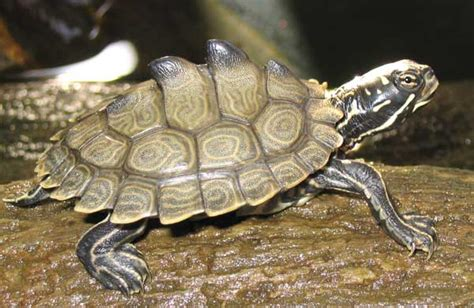 Black Knobbed Map Turtle For Sale by Black Knobbed Map Turtle Kelloggrealtyinc