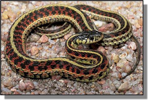 Garter Snake Deck Pictures At Washington State Pullman Cus