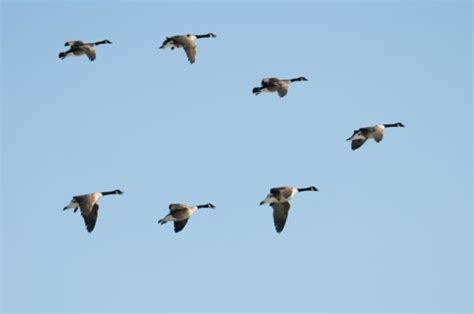 birds migrate earlier but some may be left behind as