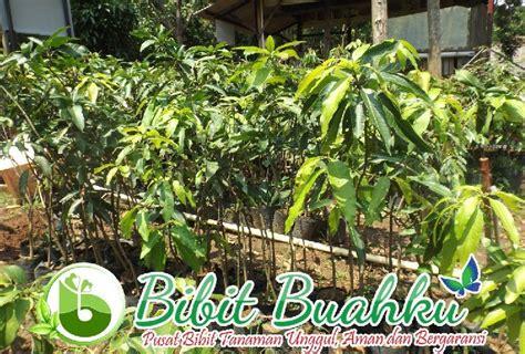 Harga Bibit Mangga Namdokmai pusat pembibitan penjualan bibit mangga harum manis