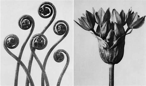 Best Flower by Karl Blossfeldt At Historic Camera History Librarium