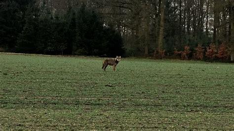 Wolf bei Sendenhorst im Münsterland gesichtet Lotto Sendenhorst