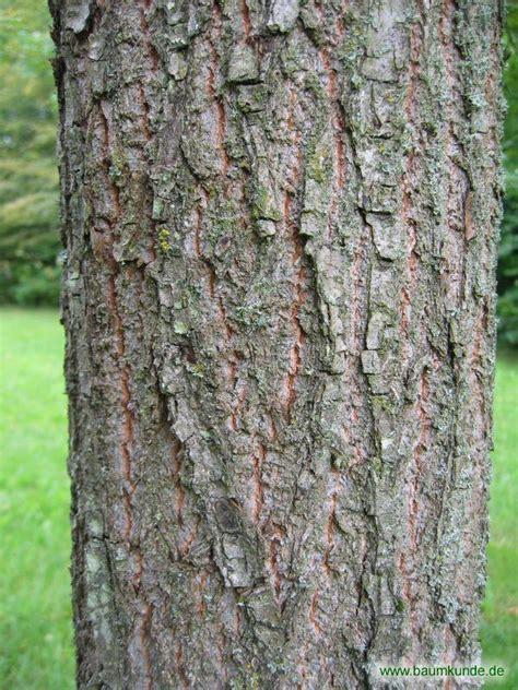 Rinde Der Eiche by Persische Eiche Quercus Macranthera Borke Bestimmen