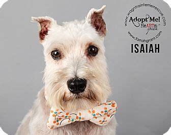 puppies for adoption omaha ne omaha ne schnauzer standard meet isaiah a for adoption