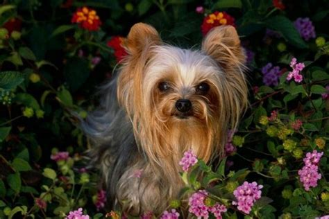 yorkie for sale in ta 17 best images about puppy on chihuahuas terrier and