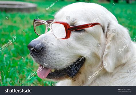 golden retriever with sunglasses golden retriever sunglasses park stock photo 583774081