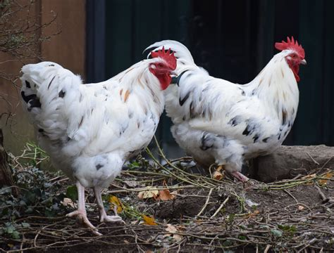 backyard chicken breeds chicken breed focus erminette