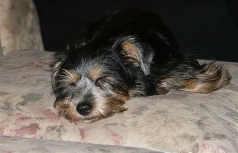 miniature schnauzer yorkie miniature schnauzer yorkie mix puppies pictures to pin on pinsdaddy