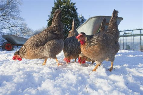 backyard chickens in winter live q a raising chickens in winter backyard poultry