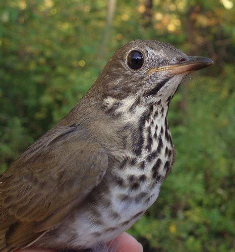 net results how do we know what thrushes are eating