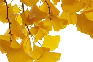 Gingko good for your lungs amp brain