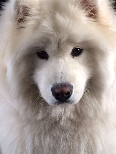 samoyed colors 2709 best images about samoyed dogs on