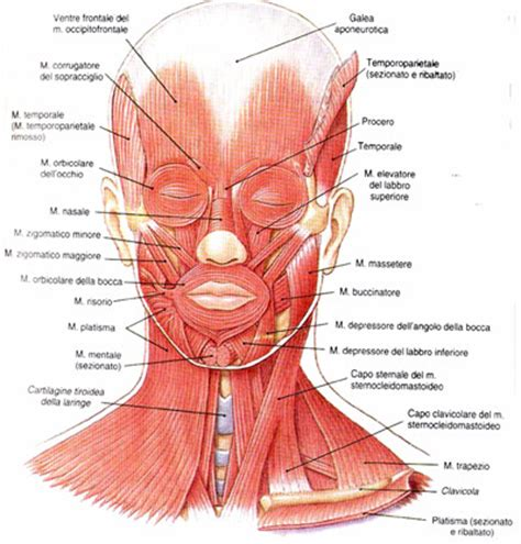testa anatomia organi accessori ottica cagnacci