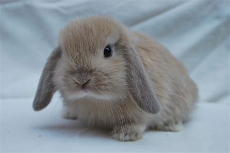 mini lop rabbit dwarf and german pictures