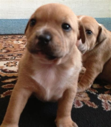 staffordshire puppies for sale staffordshire bull terrier puppies for sale southend on sea essex pets4homes
