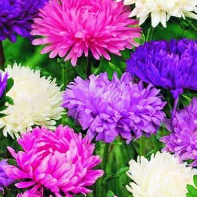 fiori astri giardino fiori astro gigante bavicchi