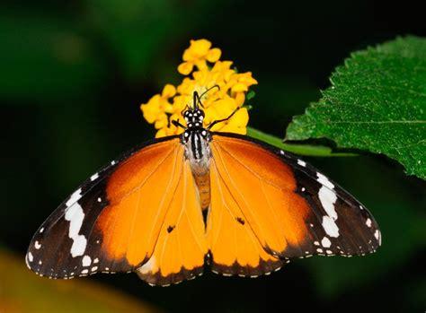 tigre y mariposa imagenes caracter 237 sticas de las mariposas tigre im 225 genes y fotos