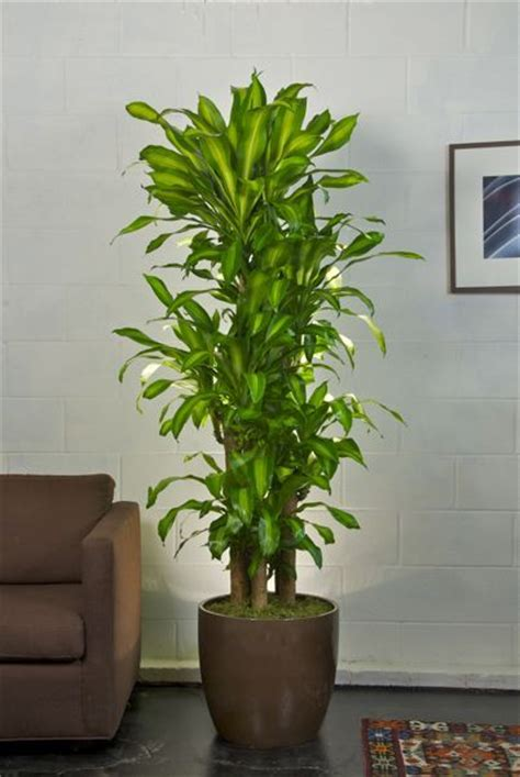 buy house plants corn plant indoor plant pots and low lights on pinterest