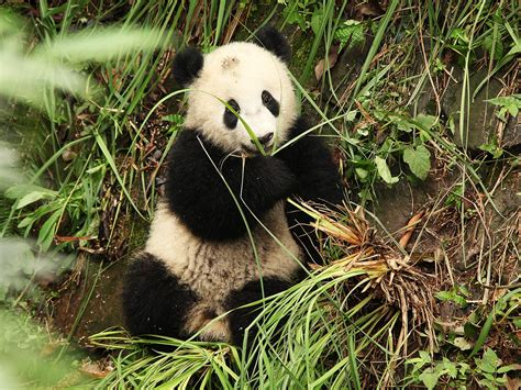 chengdu    cute pandas  kenji lopez alt