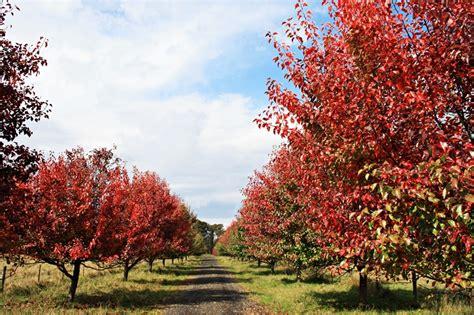 winter hill tree farm pear manchurian pyrus ussuriensis