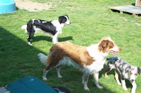 collie for sale border collies for sale 40 cool wallpaper dogbreedswallpapers