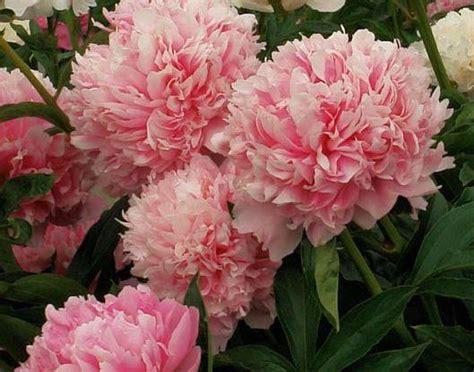 paeonia lactiflora pink parfait the site gardener