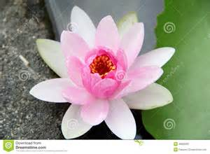 Scientific Name Of Lotus Plant Light Pink Water Stock Photo Image 46855361