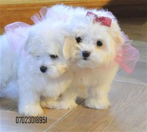 can you give puppies baby formula teacup maltese puppies for sale pets for sale in the uk