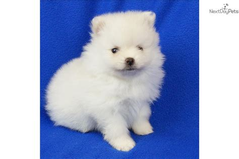 show me a picture of a pomeranian pomeranian puppy for sale near springfield missouri d48f1743 78b1