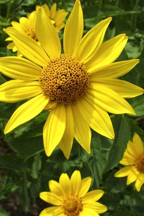 stauden sonnenblume pflege stauden sonnenblumen pflanzen und pflegen ndr de