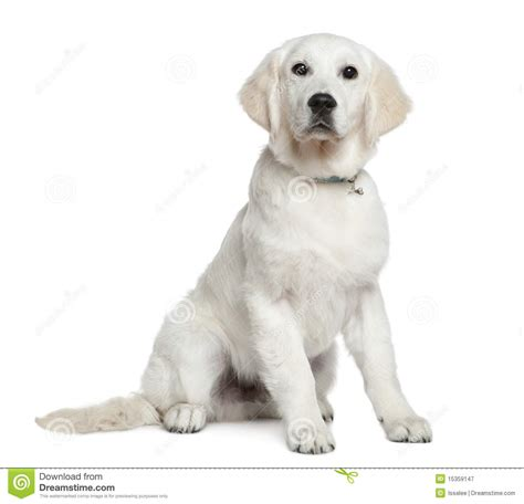 golden retriever at 5 months golden retriever puppy 5 months sitting stock image image 15359147