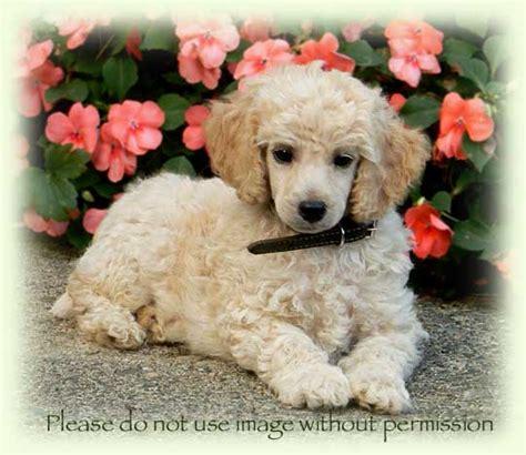 moyen poodle lifespan ellie and lenny s moyen small standard poodle litter born