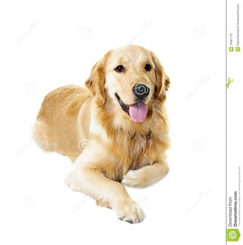 dogs similar to golden retriever golden retriever stock photo image 18481770