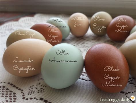 breeds  chickens lay colored eggs fresh eggs daily