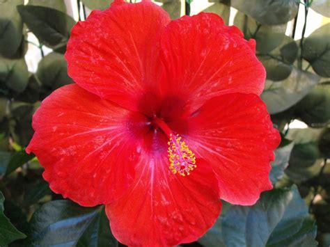 Kembang Warna Warni gambar menanam daun bunga warna warni flora bunga merah kembang sepatu berwarna