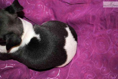 rottweiler puppies gainesville florida rottie breeder near gainesville florida breeds picture