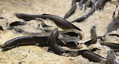 Jual Kolam Terpal Di Yogyakarta cara budidaya ikan belut di kolam terpal