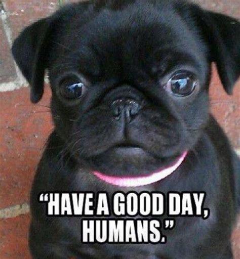 pug child meme 97 best pug memes images on animal animals and hilarious animals