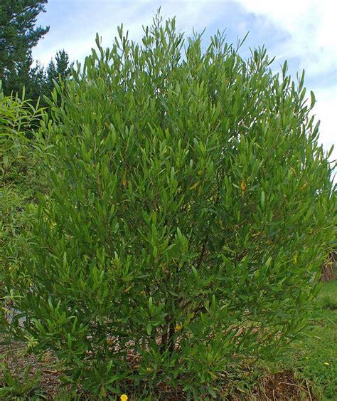 Bush Topiary - dodonaea viscosa ake ake hopbush leafland